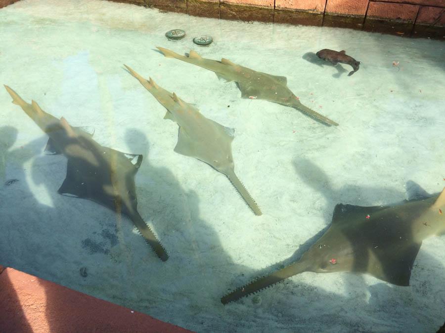 Saw-shark [Amin]