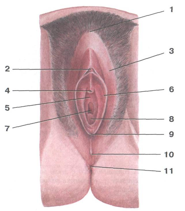Анатомия в картинках влагалище