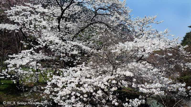 Что за цветок сакура