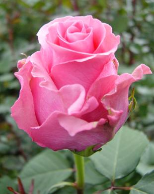 Куст розы King Kong раскидистый.  Цветет ярко-розовым.