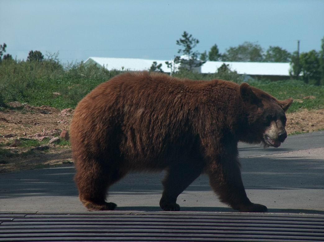 Хозяевам медведя удалось отпугнуть.  И мишка удрал в тайгу.  Однако.