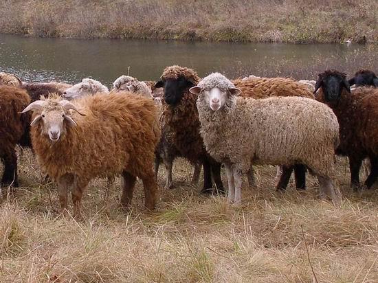 В Угличском районе открылся новый овцеводческий комплекс.