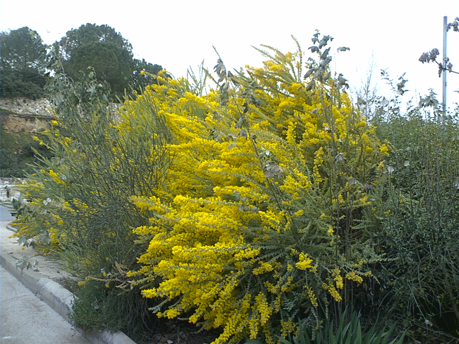 Цветок сибирская мимоза фото
